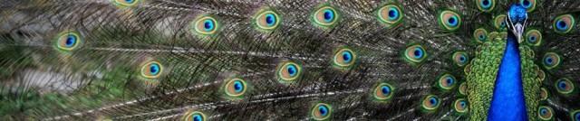 peacockbanner
