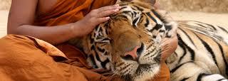 TigerNap