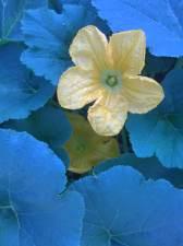 Squash Blossoms by Julianne Victoria