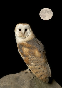 Night-Barn-Owl-with-Moon