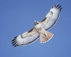 Red-tailed_Hawk_w13-1-034_l
