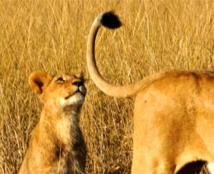 Beyond-lion-tail-phinda