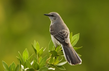 Mockingbird Animal Spirit