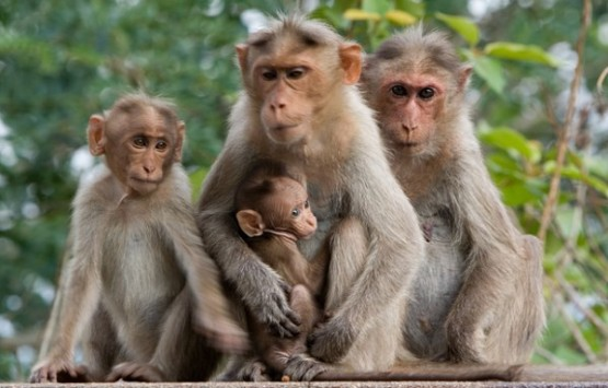 monkeys_family