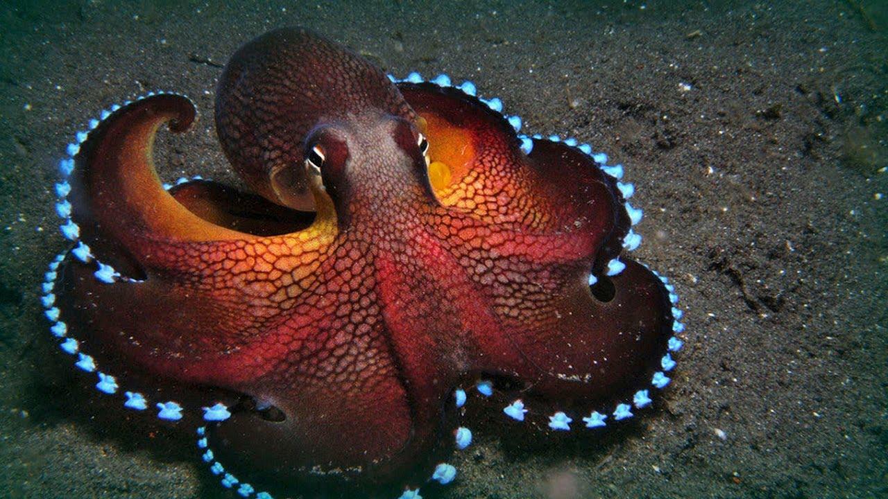 Animal Spirits The Octopus Through The Peacocks Eyes