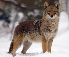 coyote_snow